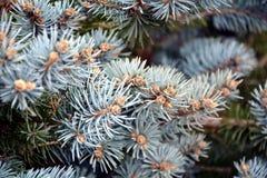 Сосна разветвляет предпосылка, текстура зимы естественная Стоковые Фото
