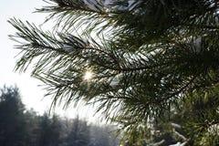 Сосна разветвляет в bokeh предпосылки зимы леса зимы Солнце выходить иглы сосны Bokeh предпосылки зимы clo Стоковое Изображение RF