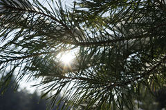 Сосна разветвляет в bokeh предпосылки зимы леса зимы Солнце выходить иглы сосны Bokeh предпосылки зимы clo Стоковое Фото
