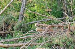 Сосна разветвляет при зеленые иглы валить в лесе Стоковое Изображение RF