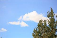 Сосна разветвляет против голубого неба и облаков Стоковое Изображение RF
