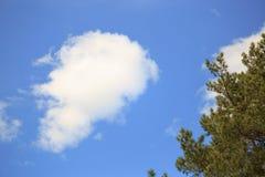 Сосна разветвляет против голубого неба и облаков Стоковые Фото