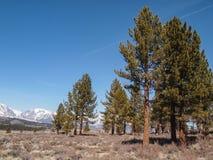 Сосна, снег покрытый ландшафт горы Стоковое фото RF
