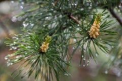 Сосна с дождевыми каплями Bokeh стоковые фото
