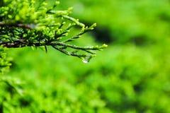 Сосна с каплей росы Стоковое Фото