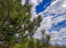 Сосна с облачным небом в предпосылке стоковое изображение rf