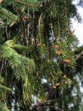 Сосна с цветенями Стоковая Фотография