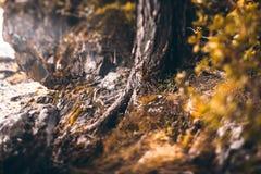 Сосна укореняет взгляд сказки Стоковое Фото
