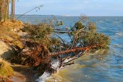Сосна упала в пруд, деревья после шторма сломали и упали в озеро стоковая фотография