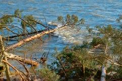 Сосна упала в пруд, деревья после шторма сломали и упали в озеро стоковое фото rf