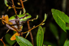 Сосна Barrens Treefrog Стоковые Фотографии RF