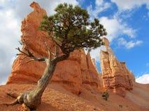 Сосна Bristlecone, каньон Bryce Стоковое Фото