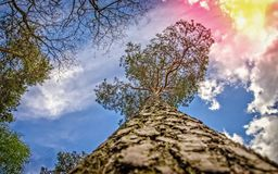Сосна Carvel, стремясь для солнца стоковое фото