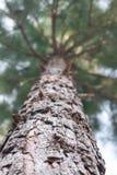 Сосна Forrest Стоковое Изображение RF