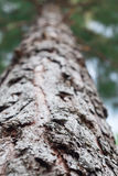 Сосна Forrest Стоковые Фото
