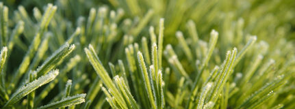 Сосна Frost Стоковая Фотография RF