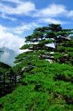 Сосна Huangshan держателя, неимоверный фарфор Стоковая Фотография