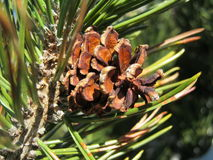 Сосна Moutain (mugo) Pinus - деталь Стоковое Изображение