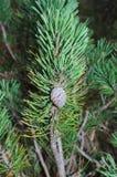 Сосна Moutain (mugo) Pinus - деталь Стоковые Изображения