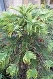 Сосна nobilis Wollemia австралийская стоковая фотография rf