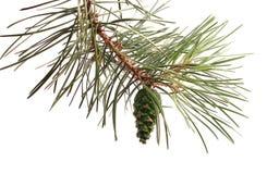 Сосна Pinecone, зеленая Стоковое Изображение RF