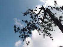 Сосна Sumatran - 4 Стоковые Фото
