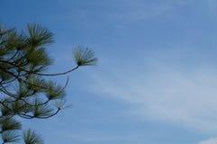 Сосна Sumatran - 5 Стоковые Фото