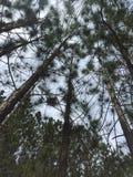 Сосновая древесина перспективы природы Стоковое Изображение