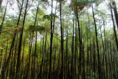 Сосновые леса Стоковые Фотографии RF