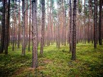 Сосновые древесины Tuchola Художнический взгляд в винтажных ярких цветах Стоковое Изображение