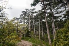 Сосновый лес ландшафта в горах Стоковое Изображение