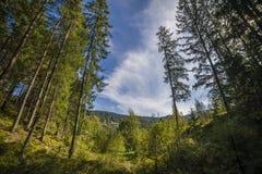 Сосновый лес ландшафта лета в Карпатах Стоковое Фото