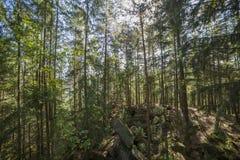Сосновый лес ландшафта лета в Карпатах Стоковая Фотография