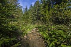 Сосновый лес ландшафта лета в Карпатах Стоковые Изображения RF
