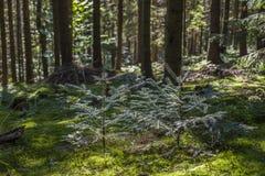 Сосновый лес ландшафта лета в Карпатах Стоковая Фотография RF