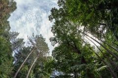 Сосновый лес высокорослых сосен корабля Стоковые Фото
