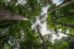 Сосновый лес высокорослых сосен корабля Стоковое Изображение RF