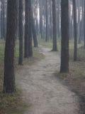 Сосновый лес в раннем утре Стоковые Фотографии RF