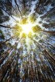 Сосновый лес в солнечном свете Стоковые Изображения