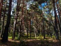 Сосновый лес в Cercedilla Стоковые Фото