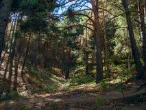 Сосновый лес в Cercedilla стоковое изображение rf