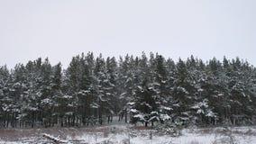Сосновый лес леса зимы с предпосылкой рождества дерева зимы ландшафта природы снега красивой Стоковая Фотография