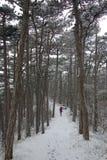 сосновый лес, зима стоковые фотографии rf