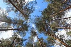 Сосновый лес и голубое небо в России стоковое фото