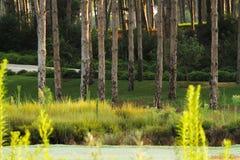 Сосновый лес и много трава Стоковые Фотографии RF