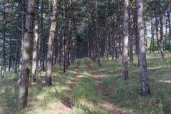 Сосновый лес и путь Стоковые Фото