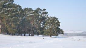 Сосновый лес много снег на предпосылке голубого неба, рождественской елки ландшафта природы Стоковая Фотография