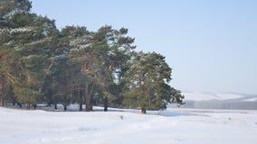 Сосновый лес много снег на предпосылке голубого неба, рождественской елки ландшафта природы Стоковые Изображения