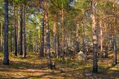 Сосновый лес на горном склоне Стоковые Фотографии RF