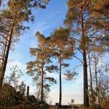 Сосновый лес на заходе солнца стоковое изображение rf